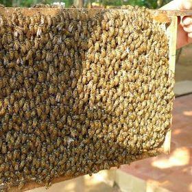 Mật ong Hoa nhãn nhà nuôi tại Châu Thành - Đồng Tháp giá sỉ