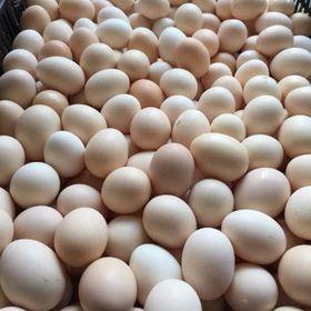 Cung Cấp trứng gà ác lộn số lượng lớn - KhaThy Tiền Giang giá sỉ