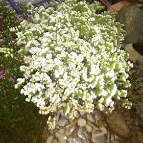 Hoa Salem giá sỉ