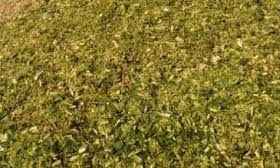 Cung cấp bắp ủ chua số lượng ổn định hàng tháng giá sỉ