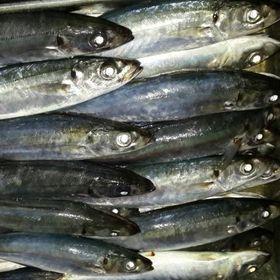 Cung cấp cá nục đông lạnh số lượng lớn giá sỉ