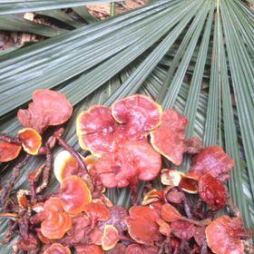Nấm lim xanh rừng Quảng Nam giá sỉ