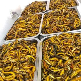Sỉ lươn Nghệ An làm sạch cho món cháo lươn súp lươn giá sỉ