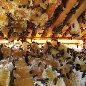 Mật ong nuôi hoa cà phê 500ml giá sỉ